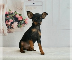 Miniature Pinscher Puppy for sale in WARSAW, IN, USA