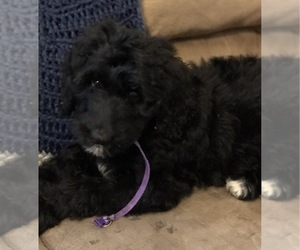 Bernedoodle Puppy for Sale in WINTER, Wisconsin USA