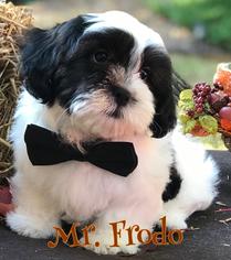 Mal-Shi Puppy For Sale in BUFORD, GA, USA