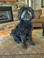 Shih Tzu Dog For Adoption in SIMPSONVILLE, SC