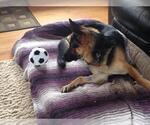 Small #1052 German Shepherd Dog