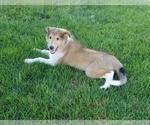 AKC Collie Puppy
