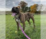 Small #235 American Pit Bull Terrier Mix