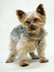 Angus - Yorkshire Terrier Yorkie Dog For Adoption