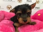 Yorkshire Terrier Puppy For Sale in TEMPLE CITY, CA,