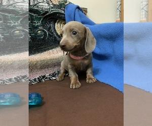 Dachshund Dog for Adoption in RICHMOND, Texas USA