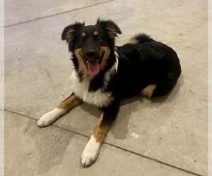 Australian Shepherd Puppy for Sale in LODA, Illinois USA