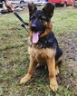 German Shepherd Dog Puppy For Sale in FOREST GROVE, OR
