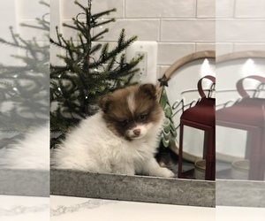 Pomeranian Puppy for sale in BALTIMORE, MD, USA