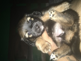 Dameranian Puppy for sale in PHILADELPHIA, PA, USA