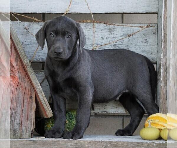 Medium Photo #6 Labrador Retriever Puppy For Sale in FREDERICKSBG, OH, USA