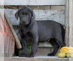 Small Photo #6 Labrador Retriever Puppy For Sale in FREDERICKSBG, OH, USA