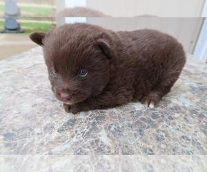 Pomsky Dog for Adoption in FORT WAYNE, Indiana USA