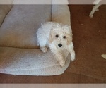 Poodle (Miniature) Puppy For Sale in MORRISONVILLE, NY, USA