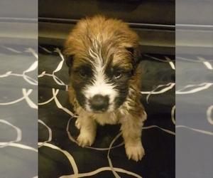 Saint Bernard Puppy for Sale in TULSA, Oklahoma USA