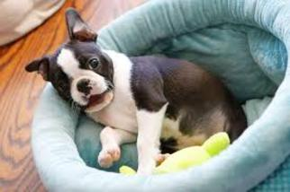 Boston Terrier Dog For Adoption in HOUSTON, TX