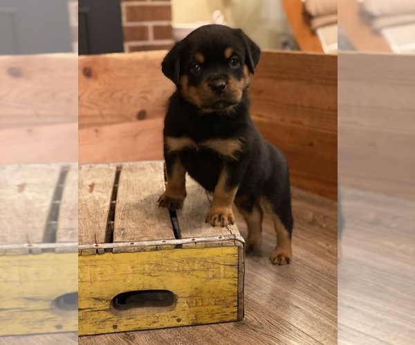 Medium Photo #6 Rottweiler Puppy For Sale in NAPA, CA, USA