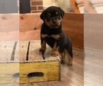 Small Photo #6 Rottweiler Puppy For Sale in NAPA, CA, USA