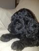 Goldendoodle Puppy For Sale in SALEM, AL, USA