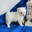 Pom-A-Poo Puppy For Sale in LE MARS, IA, USA