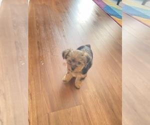 Yorkshire Terrier Puppy for sale in CHESAPEAKE, VA, USA