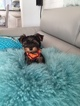 Yorkshire Terrier Puppy For Sale in BUFFALO GROVE, IL,