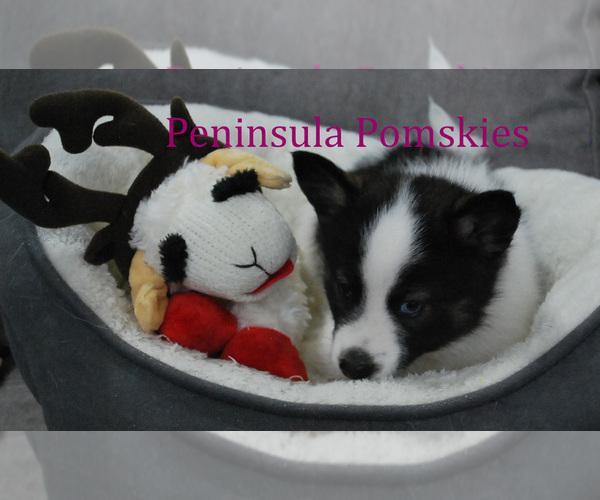 Medium Photo #5 Pomsky Puppy For Sale in SEQUIM, WA, USA