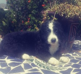 Bernedoodle Puppy For Sale in EL CAJON, CA, USA