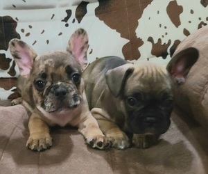 French Bulldog Puppy for sale in BLAKESBURG, IA, USA