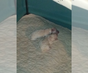 Bichon Frise Puppy for sale in QUILCENE, WA, USA