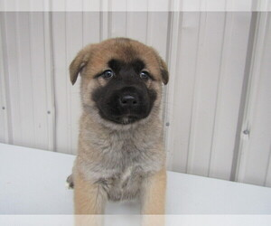 Akita Puppy for sale in JACKSON, MI, USA