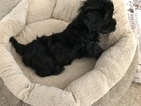 Havanese Puppy For Sale in ALBION, IN