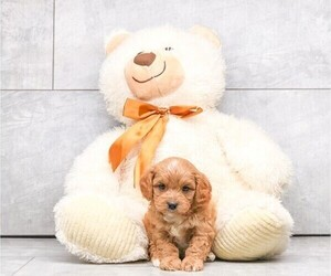 Cavalier King Charles Spaniel-Poodle (Standard) Mix Puppy for sale in CLEVELAND, NC, USA