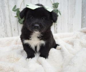 American Eskimo Dog-German Shepherd Dog Mix Puppy for sale in HONEY BROOK, PA, USA