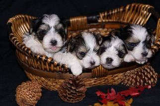Morkie Puppy For Sale in EVERETT, WA