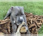 Small #32 American Staffordshire Terrier