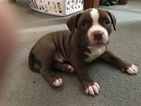 American Bully Mikelands  Puppy For Sale in OKLAHOMA CITY, OK, USA