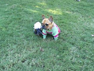 French Bulldog Puppy For Sale in CUMMING, GA, USA