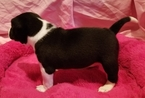 Basenji Puppy For Sale in TEXARKANA, TX, USA
