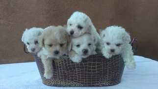 Poochon Puppy For Sale in KEYES, CA, USA