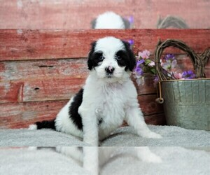 Sheepadoodle Puppy for Sale in KARLSTAD, Minnesota USA