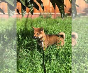 Shiba Inu Puppy for sale in FREMONT, CA, USA