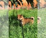 Cute female Shiba for sale