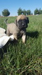 Mastiff Puppy For Sale in MONTGOMERY, IN