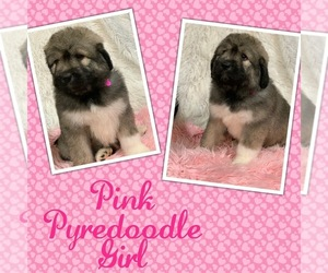 Pyredoodle Puppy for Sale in DALE, Indiana USA