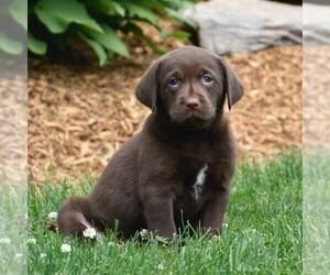 Labrador Retriever Puppy for sale in WOMELSDORF, PA, USA