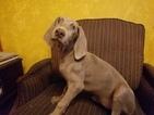 Weimaraner Puppy For Sale in MIAMI, FL