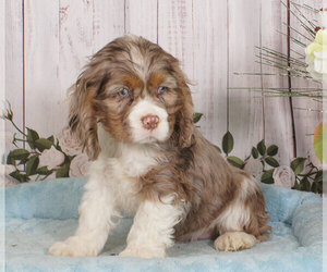 Cocker Spaniel Puppy for sale in PENNS CREEK, PA, USA