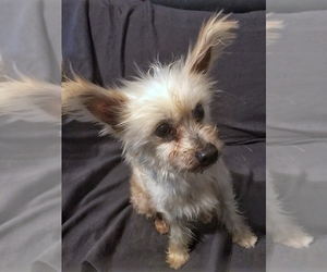 Chinese Crested Puppy for sale in BRYAN, TX, USA