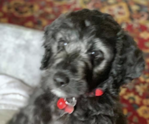 Goldendoodle Puppy for sale in PIKEVILLE, TN, USA